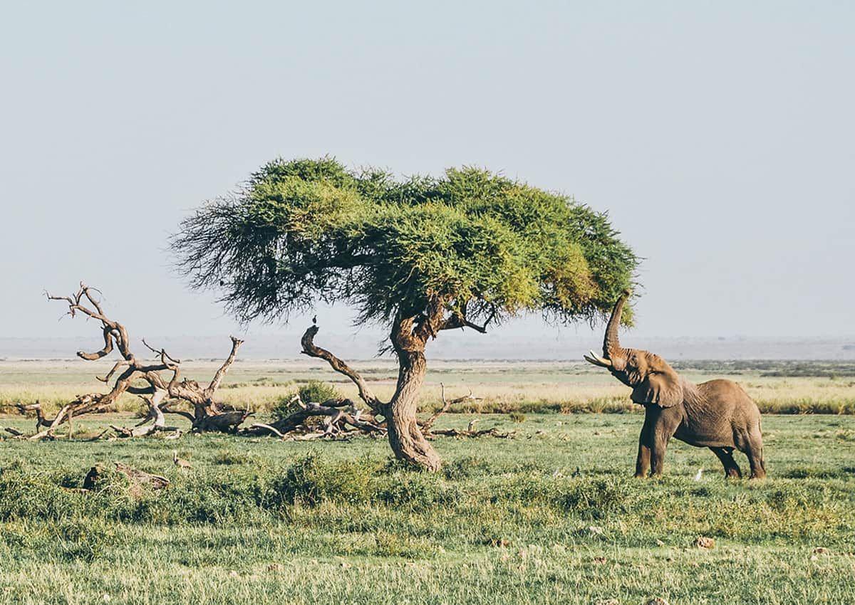 Are elephants vegan?
