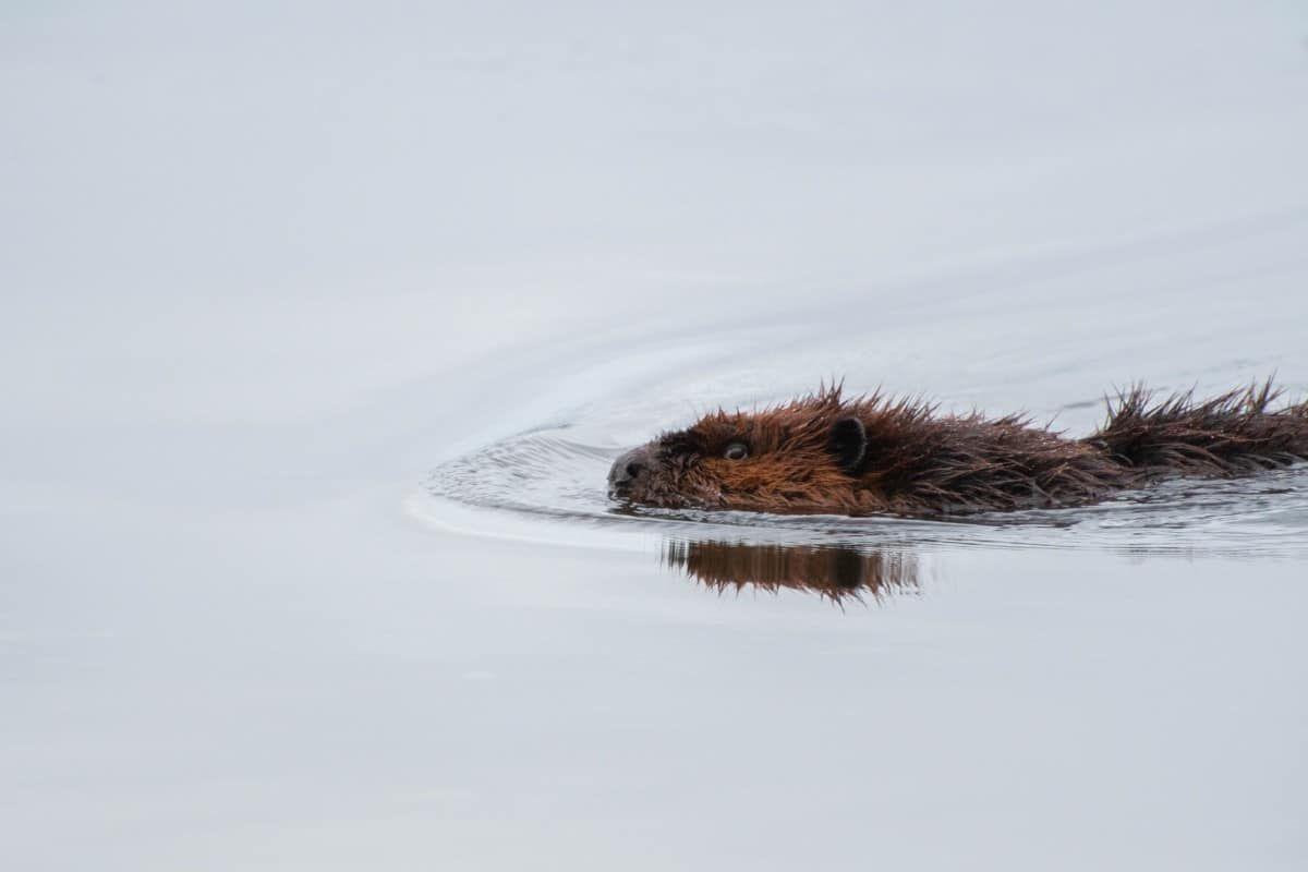 are beavers killed for castoreum